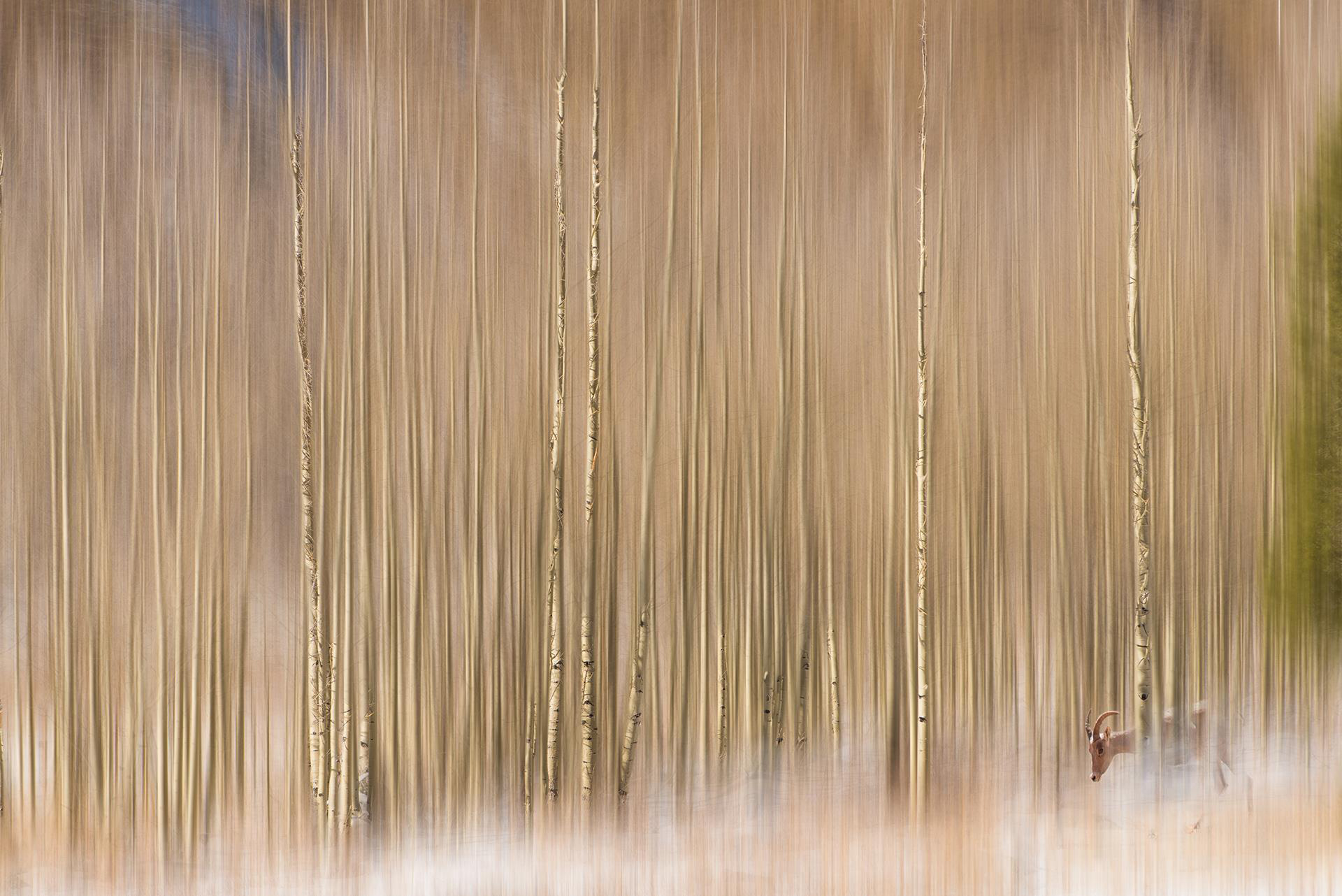 Aspens in Aspen and a Bighorn Sheep by Ana Phelps